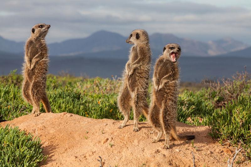 Potovanje Južna Afrika, Garden Route, surikate