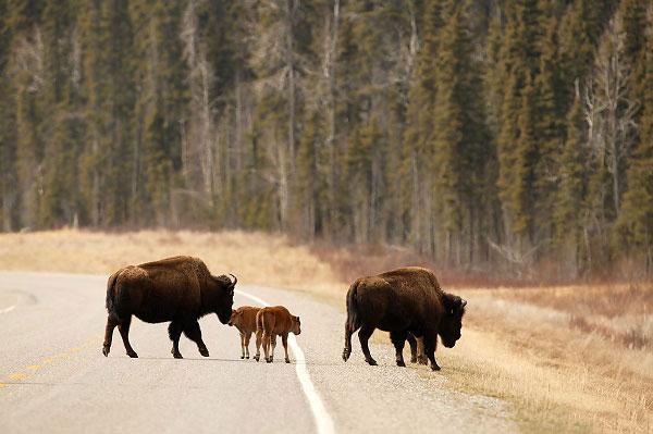 Potovanje ZDA, Aljaska, Alaska Highway